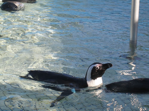 Single penguin swimming