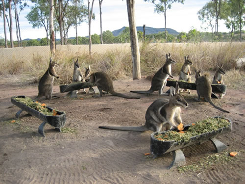 Volunteer in Australia with Wallabies