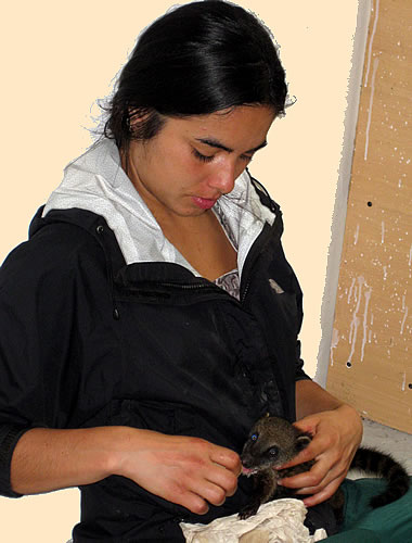 A volunteer Chilean veteranarian feeds a baby coati in Ecuador