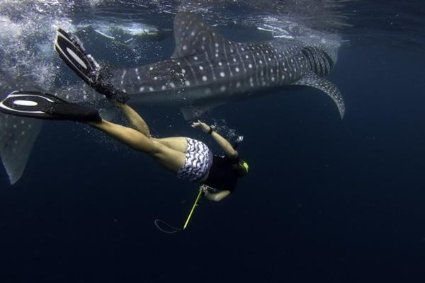 A volunteer helps gather data on whale sharks