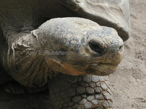 Voluntourism in the Galapagos saving the tortoise