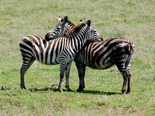 Zebras in Tanzania - Adventure Travel