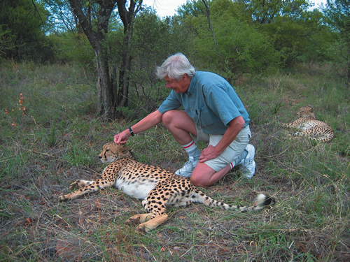 Stroking Cheetah on a Safari in Botswana