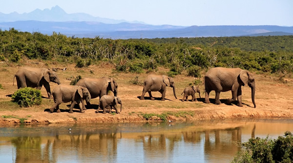 A herd of wild elephants in Africa