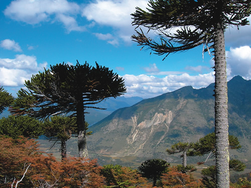 Lanin National Park in Patagonia, Argentina with Monkey Puzzle Trees