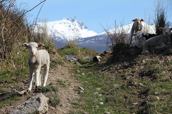 Sheep on trekking trail in Patagonia