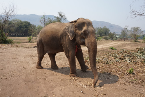 Volunteer to rescue elephants in Thailand