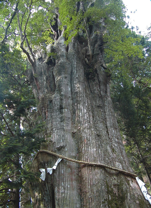 Hiking the Kumano road in Japan hiking and seeing a 3,000 year-old tree