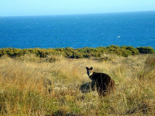 A wallaby in Australia