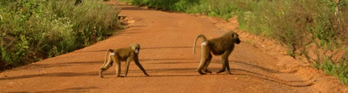 Baboon Crossing, Mole National Park