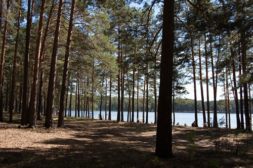 A pine forest near a lake in Siberia
