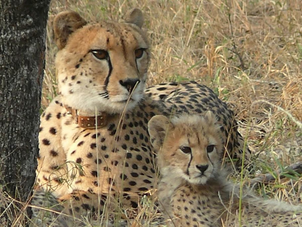Cheetahs at a Game Reserve in South Africa.