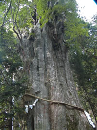 Japan 3000 year-old tree